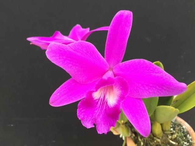 L.sincorana fma.concolor_d0007501_10324019.jpg