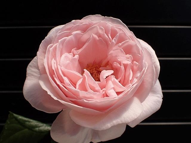 短命だけど、とても魅力的なバラ「ナエマ」_e0289203_11233051.jpg