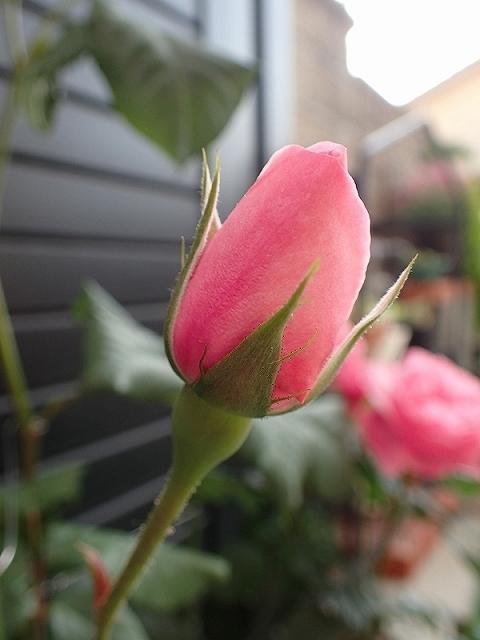 短命だけど、とても魅力的なバラ「ナエマ」_e0289203_11240015.jpg