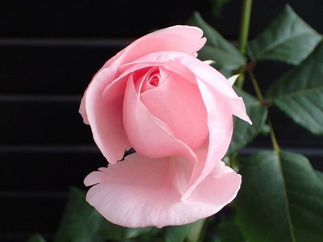 短命だけど、とても魅力的なバラ「ナエマ」_e0289203_11240261.jpg