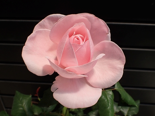 短命だけど、とても魅力的なバラ「ナエマ」_e0289203_11240521.jpg