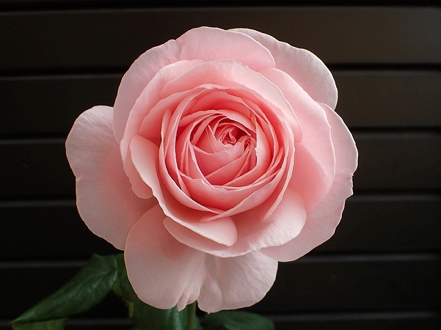 短命だけど、とても魅力的なバラ「ナエマ」_e0289203_11240959.jpg