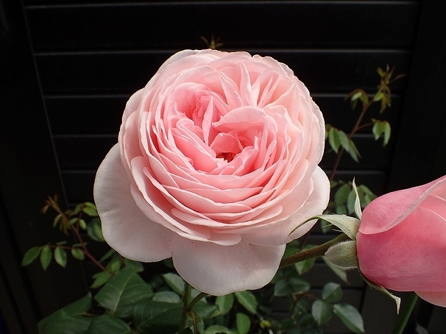 短命だけど、とても魅力的なバラ「ナエマ」_e0289203_11241113.jpg