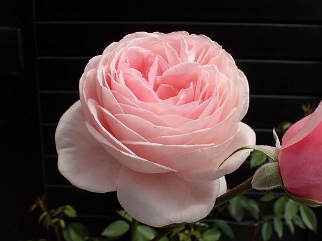 短命だけど、とても魅力的なバラ「ナエマ」_e0289203_11241307.jpg