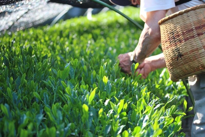 下山茶摘みで癒される_b0220318_07375108.jpg