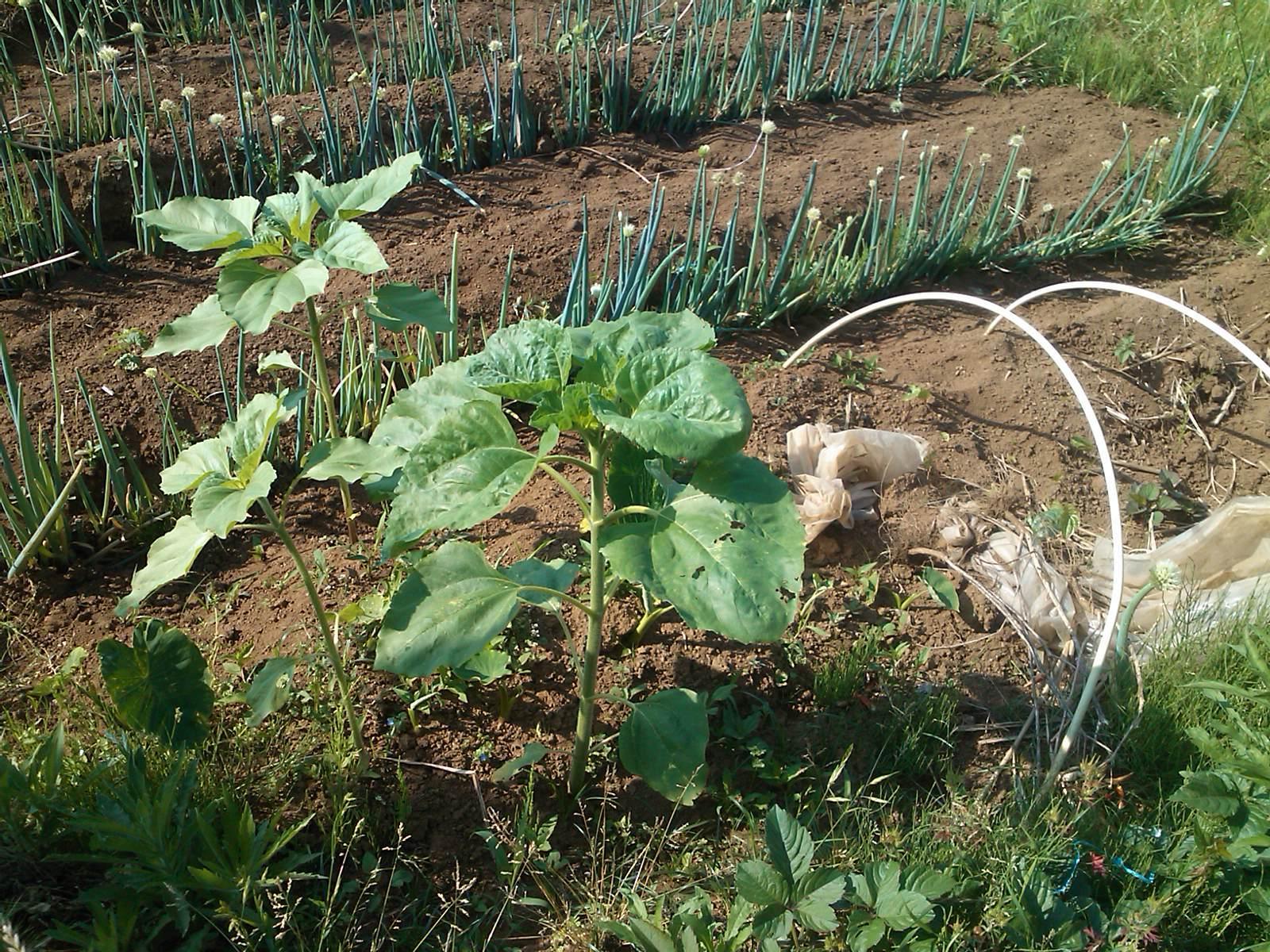 夏野菜の収穫...キューリから_b0137932_17224377.jpg