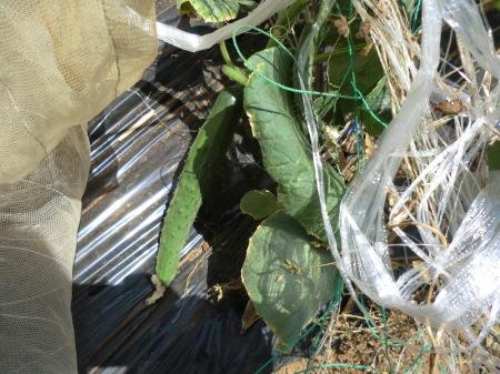 夏野菜の収穫...キューリから_b0137932_17232395.jpg