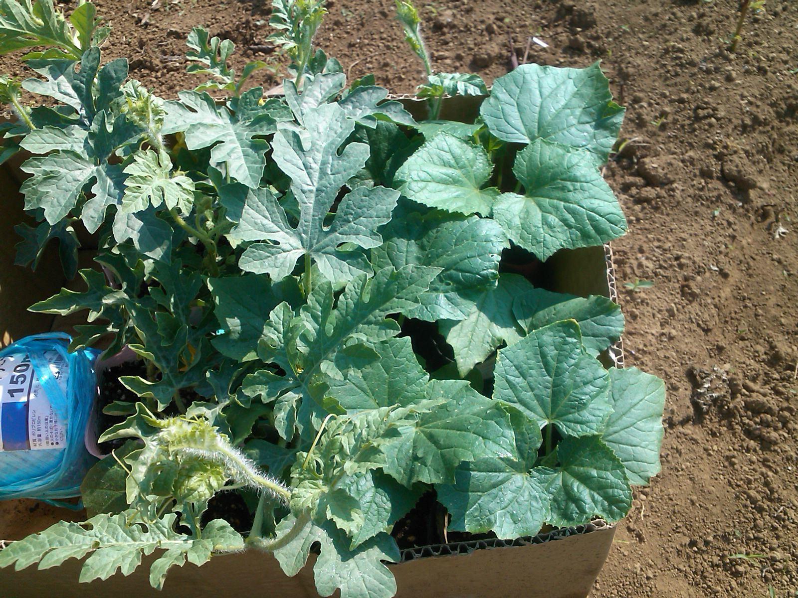 夏野菜の収穫...キューリから_b0137932_17240275.jpg