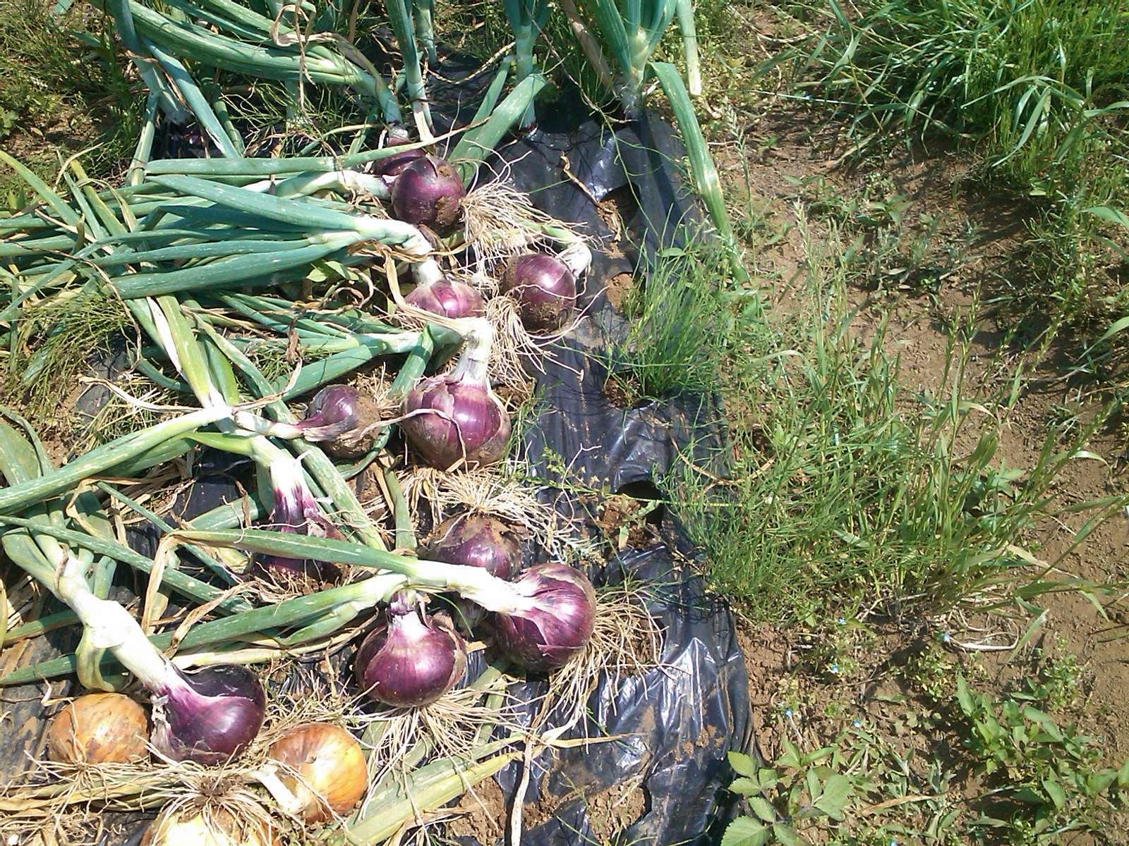 夏野菜の収穫...キューリから_b0137932_17303181.jpg