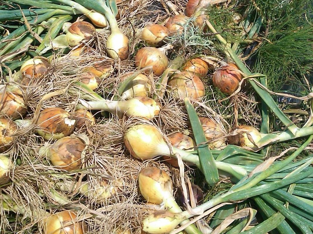 夏野菜の収穫...キューリから_b0137932_17350072.jpg