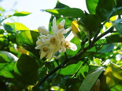 種なしかぼす 今年も無農薬・無化学肥料で育てる『種無しかぼす』の花の様子を現地取材!_a0254656_17380505.jpg