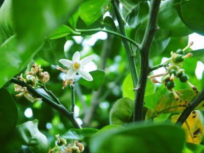 種なしかぼす 今年も無農薬・無化学肥料で育てる『種無しかぼす』の花の様子を現地取材!_a0254656_18302547.jpg