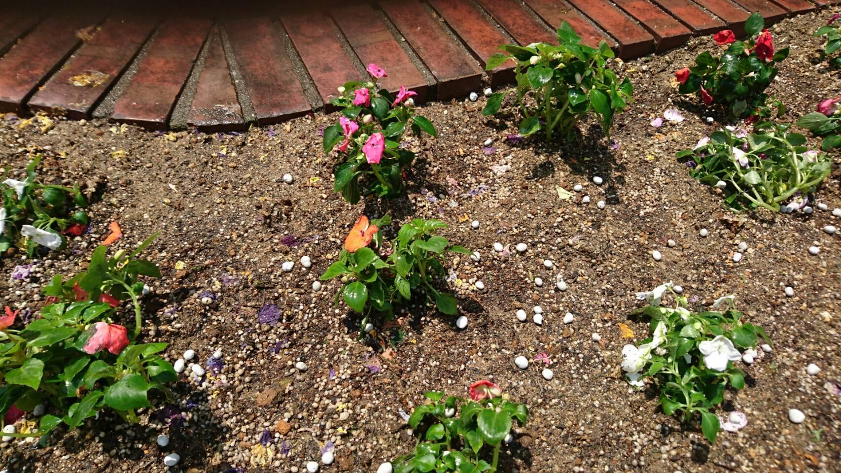 ガーデンふ頭総合案内所前花壇の植替えH29.5.22_d0338682_10202992.jpg