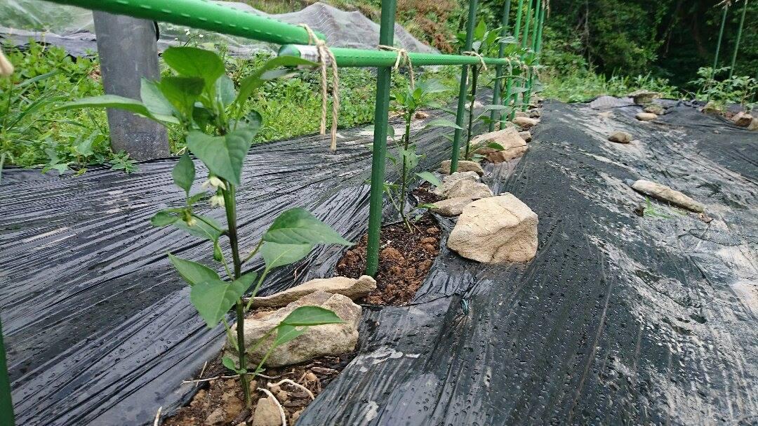 「アマガエル」で、雨乞い。_a0125419_06405738.jpg