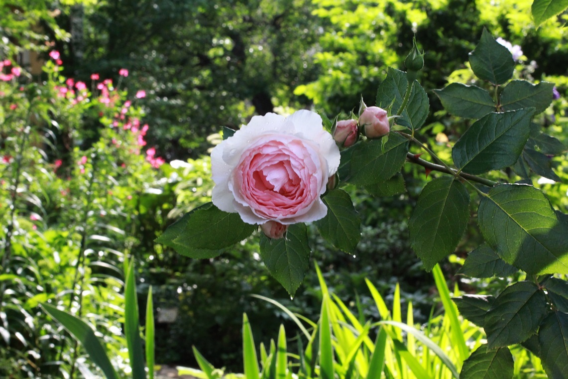 薔薇が少しずつ咲いて_a0107574_12534574.jpg