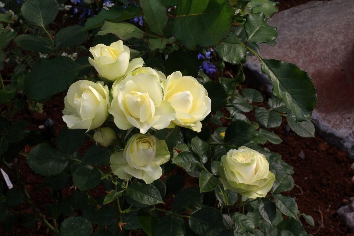 薔薇が少しずつ咲いて_a0107574_12541043.jpg
