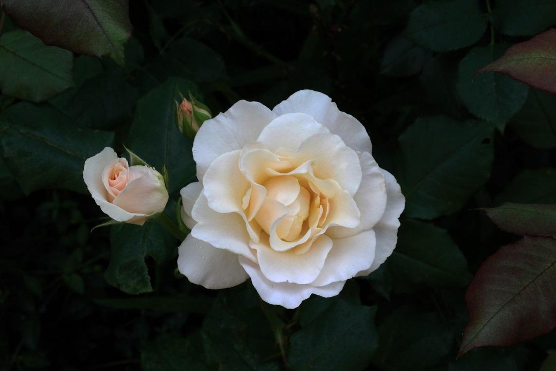 薔薇が少しずつ咲いて_a0107574_12541955.jpg