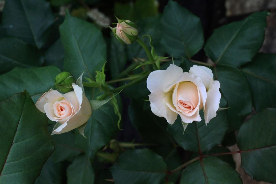 薔薇が少しずつ咲いて_a0107574_12542606.jpg