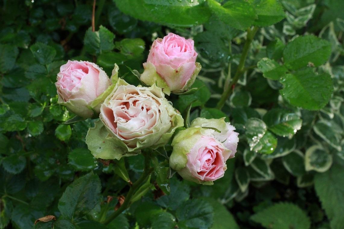 薔薇が少しずつ咲いて_a0107574_12543694.jpg