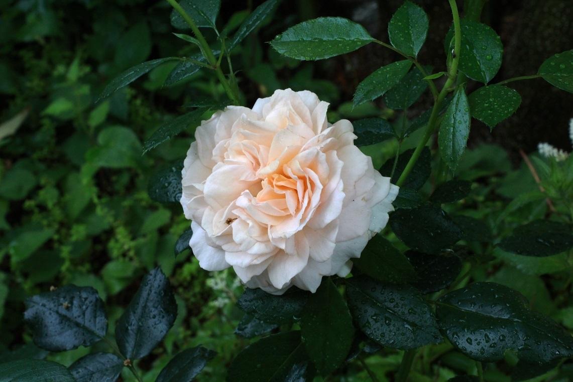 薔薇が少しずつ咲いて_a0107574_12545508.jpg