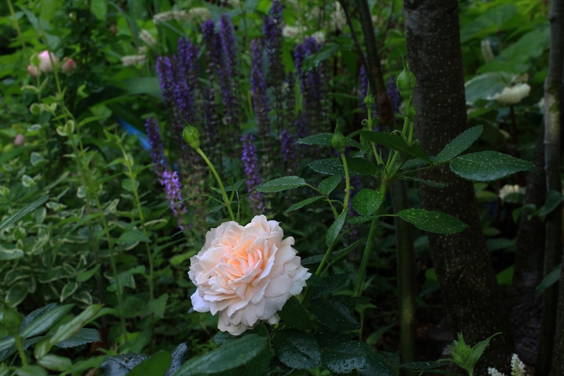 薔薇が少しずつ咲いて_a0107574_12550304.jpg