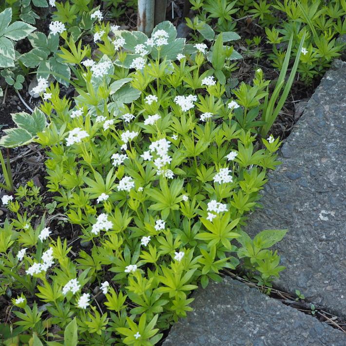 お庭の白いお花たち(宿根草)_a0292194_22255845.jpg