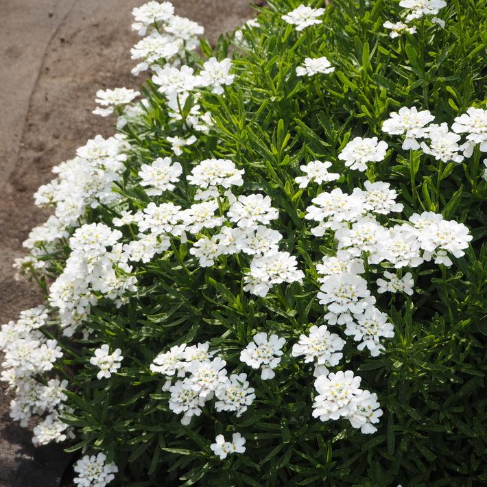 お庭の白いお花たち(宿根草)_a0292194_22404573.jpg