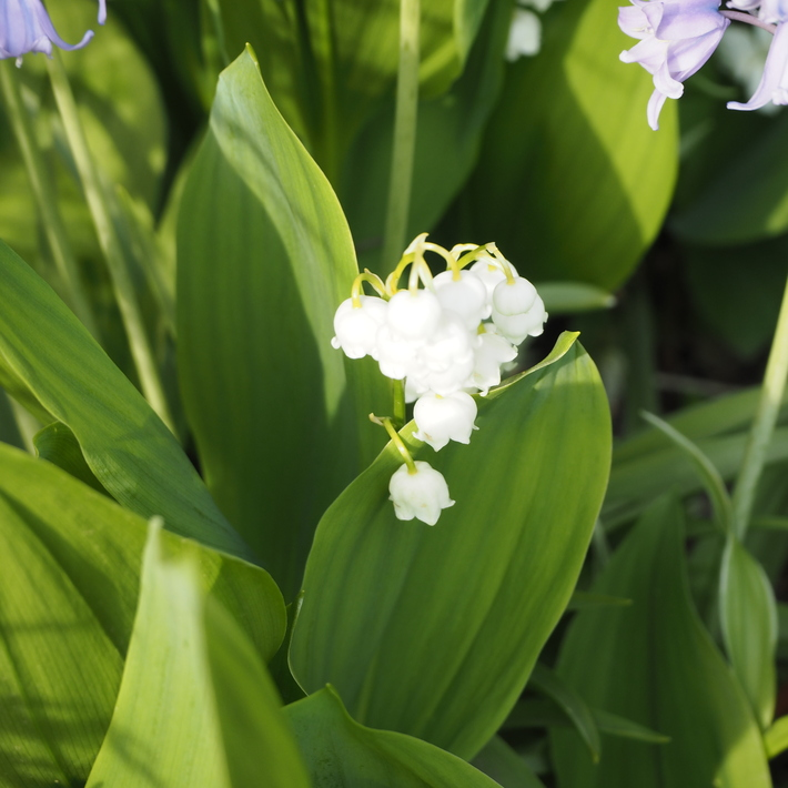 お庭の白いお花たち(宿根草)_a0292194_22463796.jpg