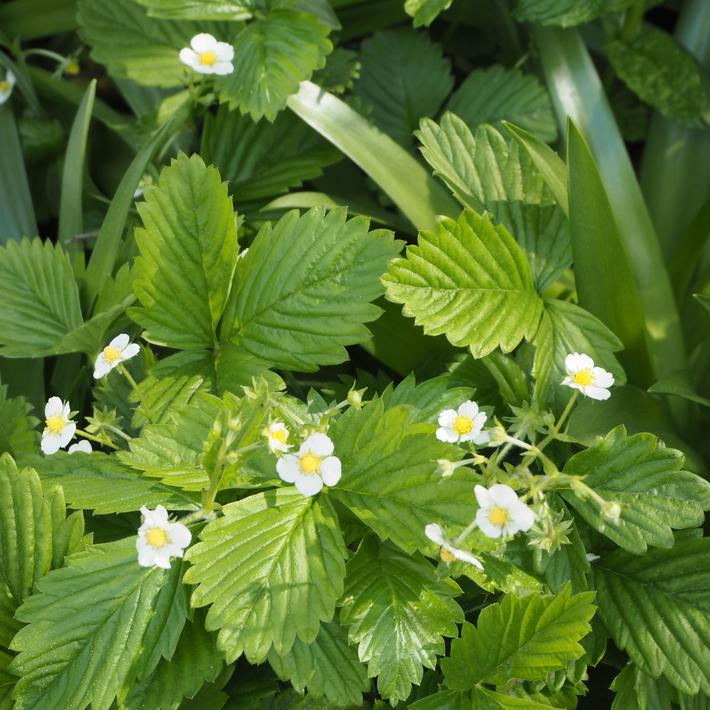 お庭の白いお花たち(宿根草)_a0292194_22475340.jpg