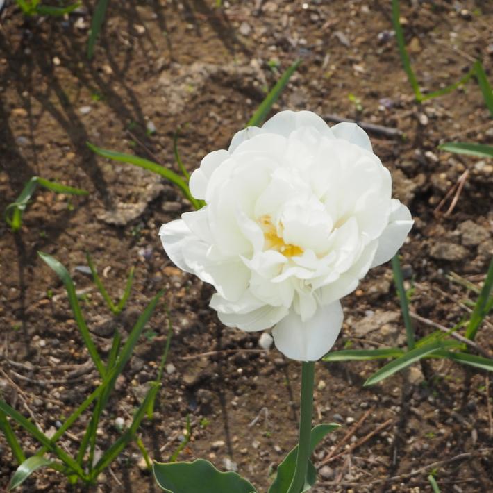 お庭の白いお花たち(宿根草)_a0292194_2325297.jpg