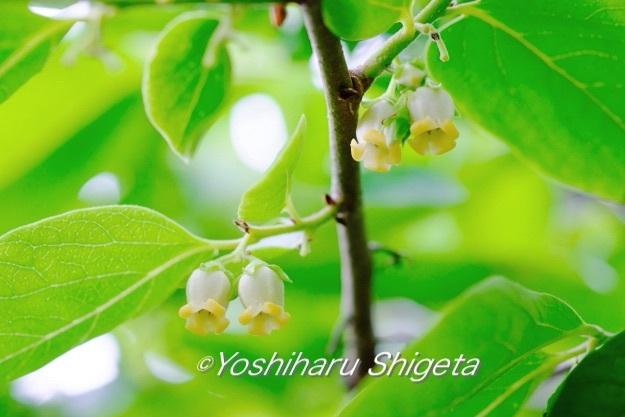 〜柿の花〜_c0152400_22491526.jpg