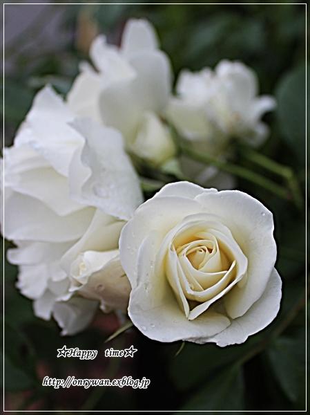 椎茸つくねの照焼き弁当とバラ・アイスバーグ♪_f0348032_18433892.jpg