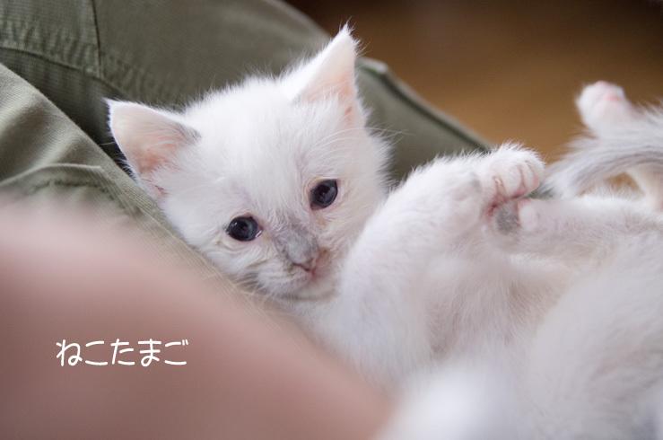 白ほわニャンズ_f0152939_20415178.jpg