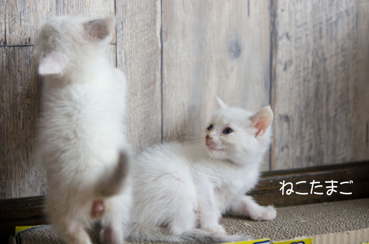 白ほわニャンズ_f0152939_20425608.jpg