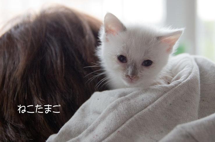 白ほわニャンズ_f0152939_20431318.jpg