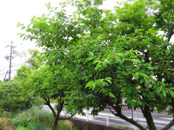 2017年5月26日 柿の花が咲きました !_b0341140_2083425.jpg