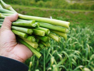 熊本産ステビアにんにく 芽カギ(摘蕾作業)の様子とこだわりの無農薬栽培_a0254656_18242330.jpg