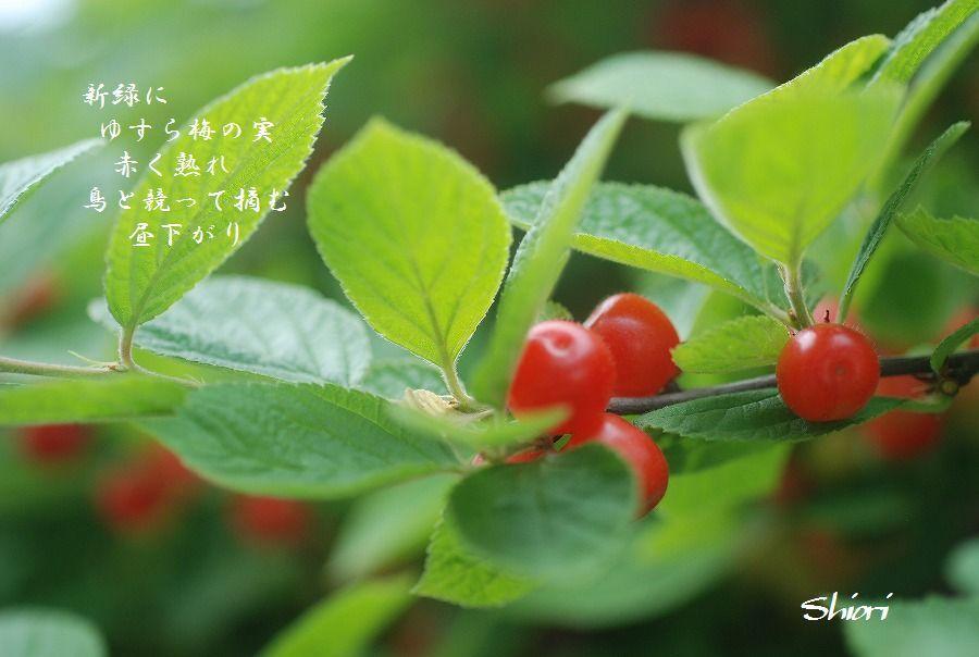 ゆすら梅の実_c0187781_20594968.jpg