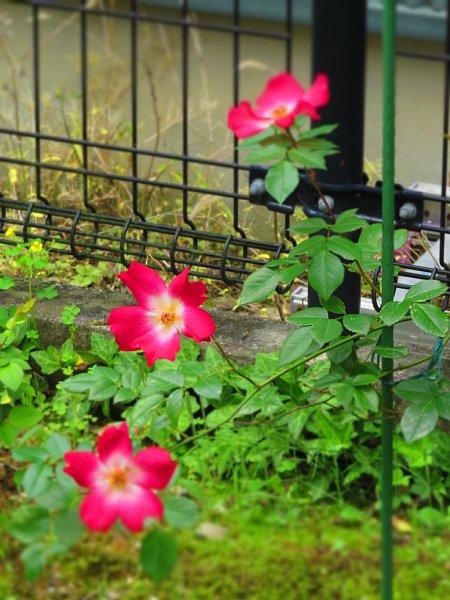 2017年5月28日 五月に花開く赤いバラ_b0341140_9194326.jpg
