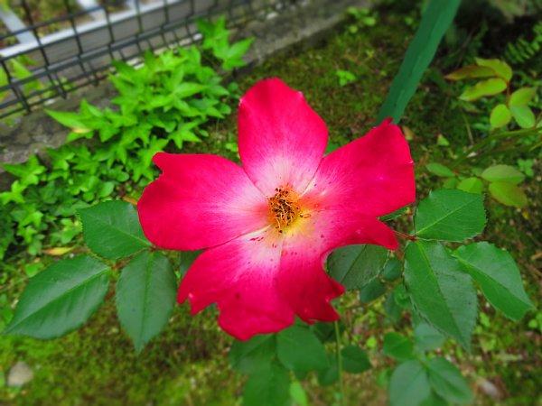 2017年5月28日 五月に花開く赤いバラ_b0341140_9201618.jpg