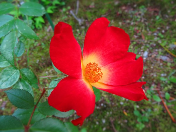 2017年5月28日 五月に花開く赤いバラ_b0341140_9205061.jpg