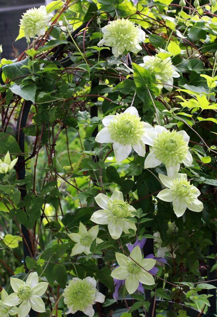 6月も近いわね                    ~シロマンエ(白万重)、キリテカナワ、白花アジサイ~_a0107574_21493917.jpg