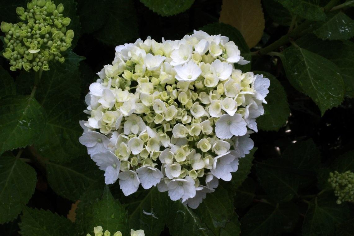 6月も近いわね                    ~シロマンエ(白万重)、キリテカナワ、白花アジサイ~_a0107574_21495477.jpg