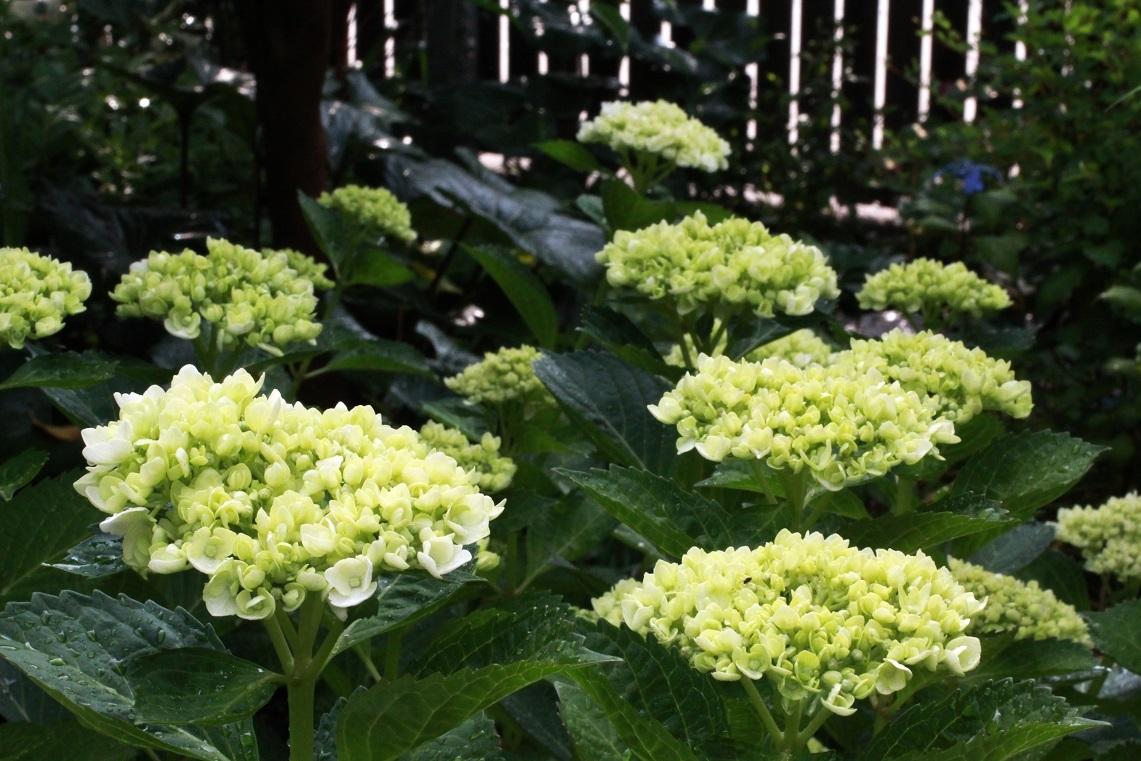 6月も近いわね                    ~シロマンエ(白万重)、キリテカナワ、白花アジサイ~_a0107574_21500615.jpg