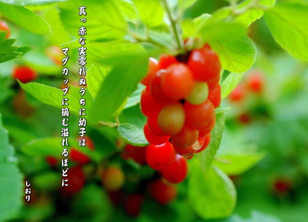 ゆすら梅の実_c0187781_23170957.jpg