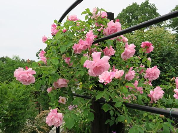 ラ・プロヴァンスにバラが咲く_e0271890_20454969.jpg