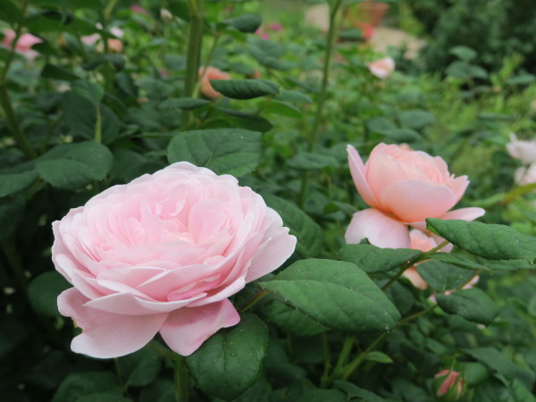 ラ・プロヴァンスにバラが咲く_e0271890_20475740.jpg