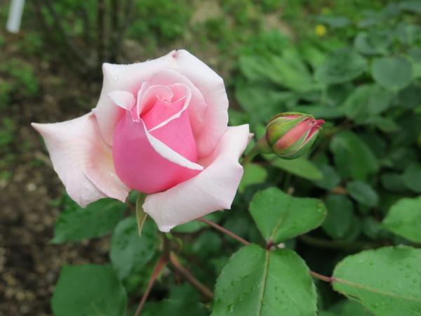 ラ・プロヴァンスにバラが咲く_e0271890_20500863.jpg