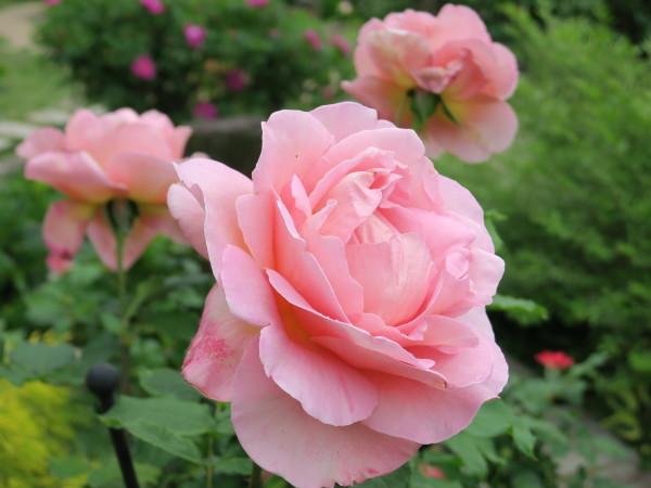 ラ・プロヴァンスにバラが咲く_e0271890_20510829.jpg