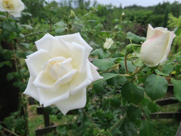 ラ・プロヴァンスにバラが咲く_e0271890_21065028.jpg